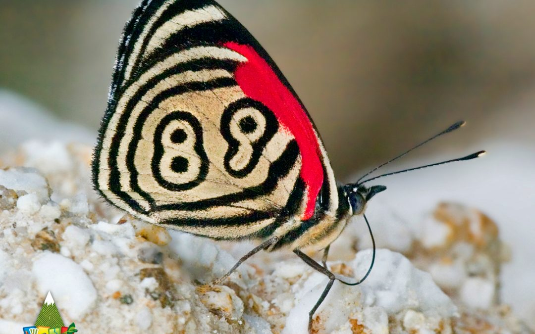 Conoces la Mariposa 89?